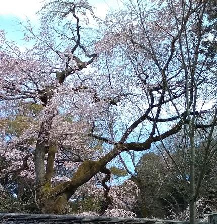 醍醐寺京都の桜