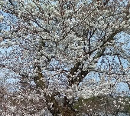 醍醐寺お花見