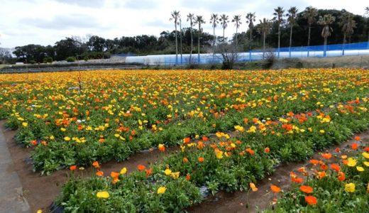 ポピーと菜の花が満開!千葉県の「館山ファミリーパーク」ポピーの里に行ってきた