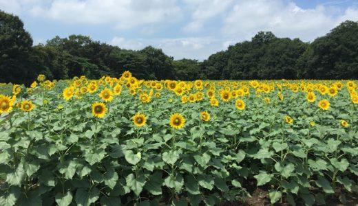 栃木県野木町ひまわりフェスティバルの見所やアクセス!自由研究にもおすすめ♪